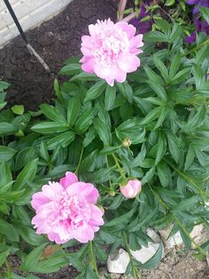 I have peonies like this at the lake! :) Petite Elegance