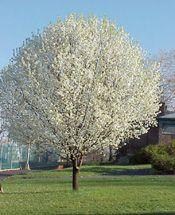 Yoshino cherry growing tree fast growing and yoshino cherry tree mightylinksfo