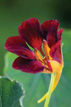 Buy Nasturtium 'Black Velvet' from Sarah Raven: A sumptuous, glamorous, rich, almost-black, compact nasturtium. Use as a ground cover or in a container. Black Flowers, Bright Flowers, Unique Flowers, Edible Flowers, Beautiful Flowers, Flower Seeds Online, Shade Loving Shrubs, Border Plants, Growing Seeds