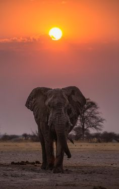 BOTSWANA AFRICA - A Stroll Down Nxai Pans Lane #Nature Animal Animals Africa Botswana Wildlife Elephant Safari Wild Wilderness Wild animal