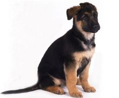 This is not my puppy but it looks exactly like my German Shepard Puppy my dogs name is Howie!