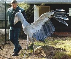 The Shoebill ( Balaeniceps rex ) also known as Whalehead or Shoe-billed Stork , is a very large stork -like bird. It derives its name from its massive shoe-shaped bill . Pretty Birds, Beautiful Birds, Animals Beautiful, Shoebill Bird, Animals And Pets, Cute Animals, Photo Animaliere, Unusual Animals, All Birds