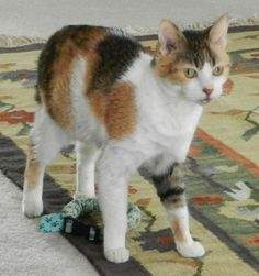Name: Candy Age: 7 years Breed: DSH - Caliby How I Arrived At NHS: I was surrendered by my owner because they were moving and could not take me with them. Note From My Foster Mom: Candy is a very popular cat at the shelter and a staff favorite!