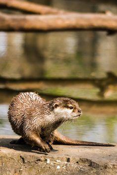 Otter turns around - April 28, 2013