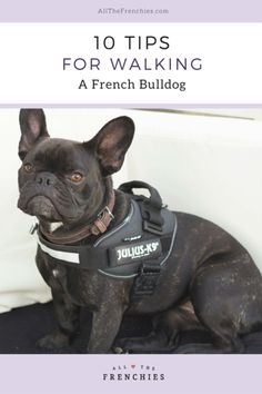 10 Tips for Walking a French Bulldog