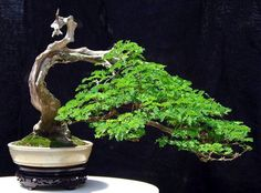 ~ Awesome Bonsai ~ www.abcdobonsai.com ️More Pins Like This At FOSTERGINGER @ Pinterest♓️