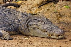 I photographed this huge, wild crocodile on the banks of a river in the Daintree rainforest in Queensland, Australia.