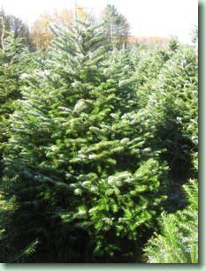 Veitch Fir are an exotic fir, native to Japan. They have long, soft, jewel-green needles, and have very thick and lush growth. They also have good needle retention and fragrance.