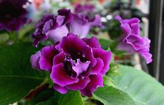 indoor flowering plants - Google Search