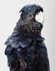 13-rosie-red-tailed-black-cockatoo-406x524.jpg (406×524)