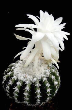 Discocactus woutersianus