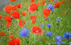Blossoming Poppies And Cornflowers