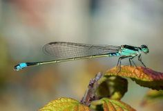 Beautiful turquoise damselfly