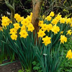 The undisputed king of all yellow daffodils, the Dutch Master daffodil is a must in any spring bulb garden. The Dutch Master daffodil produces strong and sturdy yellow flowers. Plant Dutch Master daffodil bulbs in large groups in the fall for dazzling mid-spring bloom.