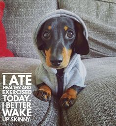 "764 Likes, 31 Comments - Dachshund Quotes & Pictures (@mydachshundfamily) on Instagram: ""You look great!  .  @martha_dachshund"""