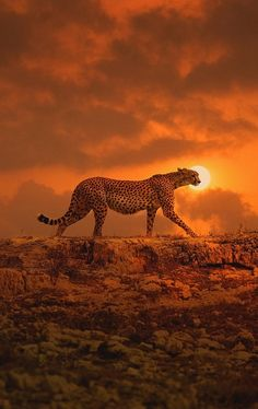 Nature, Animals, Wildlife: The Beauty at one place. Cheetah in the sunset Nature Animals, Animals And Pets, Cute Animals, Wildlife Nature, Wild Animals, Beautiful Cats, Animals Beautiful, Majestic Animals, Simply Beautiful
