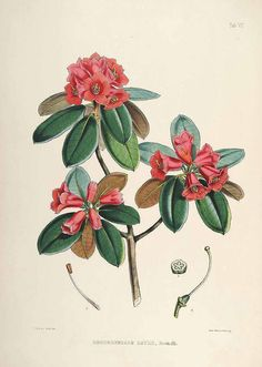 rhododendron himalaya pesquisa google nature in all her glory pinterest tattoos. Black Bedroom Furniture Sets. Home Design Ideas