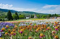 Im Farbrausch – Die Irisfelder in Laufen