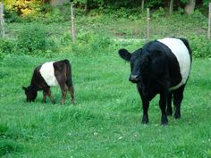 """Belted Galaway Cattle otherwise known as """"oreo cows"""""""