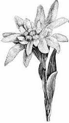 edelweiss tattoo - Google Search