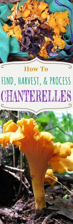 Edible Gardening How, where and when to forage and find chanterelle mushrooms and how to harvest, process and store them for use later. Edible Wild Mushrooms, Growing Mushrooms, Stuffed Mushrooms, Mushroom Identification, Edible Wild Plants, Mushroom Hunting, Mushroom Fungi, Chanterelle Mushroom Recipes, Wild Edibles
