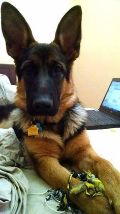 German Shepherd … #germanshepherd #DogRazas