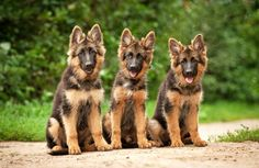 Five universal personality traits of the German shepherd---look at these cute puppy's