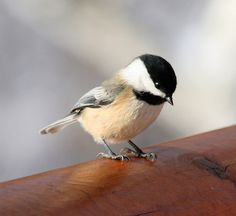 The chickadee is my favorite little bird!
