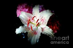 http://fineartamerica.com/featured/asiatic-lily-kay-novy.html