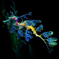 flag of Ocean Simply breathtaking - sea life Beautiful Sea Creatures, Deep Sea Creatures, Animals Beautiful, Dragon Seahorse, Weedy Sea Dragon, Water Animals, Underwater Creatures, Beautiful Fish, Mundo Animal