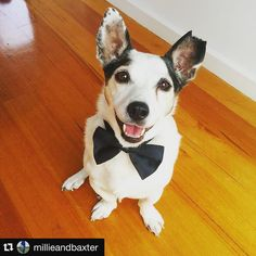 by @millieandbaxter  Baxter... James Baxter.  Baxie ready to party with us at the  wedding