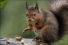 Freaky red #squirrel!