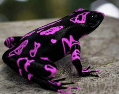 earth-song:    vulspia: Costa Rican Variable Harlequin Toad. Awesome looking toad.