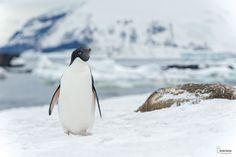 Photograph Adélie penguin by Christian Sanchez on 500px