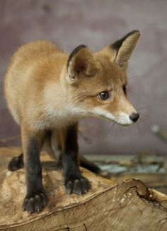 "red fox kit. Another fox that's posing just like my dog. That's his ""Am I seeing what I think I'm seeing?!"" face."