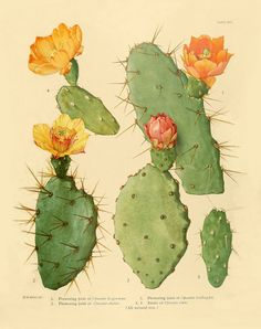 Vintage Botanical Art Print Flowering Cactus No. by BelleArtPrints Vintage Botanical Art Print Flowering Cactus No. by BelleArtPrints Vintage Botanical Prints, Botanical Drawings, Antique Prints, Botanical Art, Cactus Art, Neon Cactus, Cactus Y Suculentas, Opuntia Cactus, Arte Floral