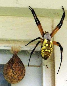 I believe it's a St Andrews Cross spider? Scary Bugs, Cool Bugs, Creepy, Scary Spiders, Huge Spiders, Spider Eggs, Spiders And Snakes, Garden Spider, Wasp Nest