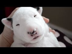 English Bull Terrier Puppies!! :D