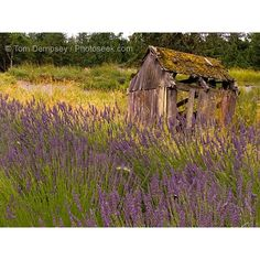 Olympic Peninsula: Lavender Farms , Olympic National Park ❤ liked on Polyvore featuring backgrounds, flowers and purple
