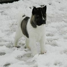 Akita Breed Information and Pictures (23)