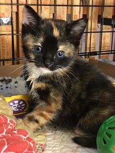 BEATRIX is an adoptable Calico searching for a forever family near LAKEWOOD, CA. Use Petfinder to find adoptable pets in your area. Kittens And Puppies, Baby Kittens, Cute Cats And Kittens, I Love Cats, Crazy Cats, Cool Cats, Kittens Cutest, Cute Puppies, Tortoiseshell Cat Personality
