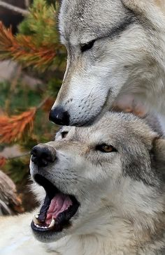 earthandanimals: wolves—only: By Athena Mckinzie