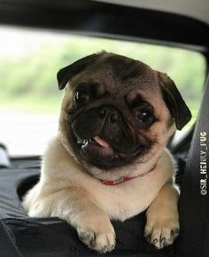cute pug puppies from Shop for Pug Lovers bio Cute Pug Puppies, Dogs And Puppies, Best Dog Toys, Baby Pugs, Tier Fotos, Pug Love, Dog Grooming, Grooming Shop, Cute Baby Animals