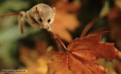 Common dormouse. Hoping one of these is living in our backyard!