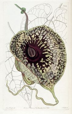 Aristolochia grandiflora from Edward's Botanical Register, 1836 - I LOVE this vine. Grows as annual in PA