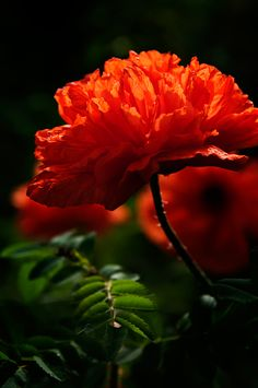 Photography Flowers by Dansiga