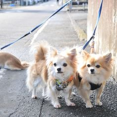 "@dekachiwa's photo: ""見切れチワワひとり  #chihuahua #dog #dogoftheday #dogofthedayjp #dogsofinstagram #チワワ #chihuahuadog #chihuahuaofinstagram #animal"""
