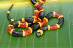 Fotos de la serpiente de Coral