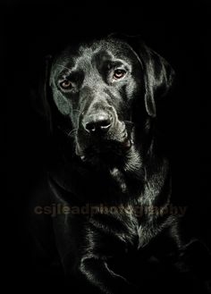 My husband takes fab pics. Our boy modelling in our studio #blacklab #dogpicture