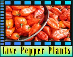 Buy Moruga Plants and Ghost Pepper Plants